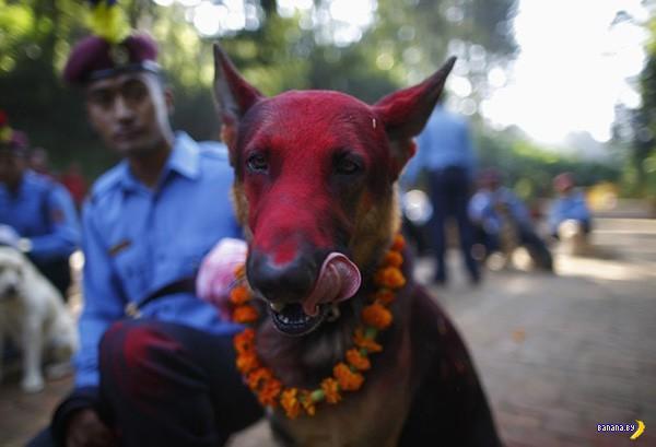 В Непале проводят Фестивали собак