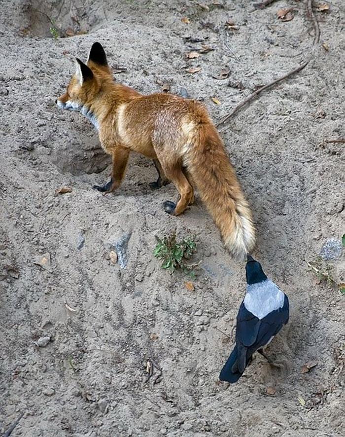 Как вороны троллят животных и птиц