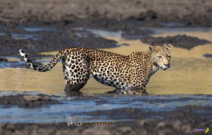 Леопардова рыбалка