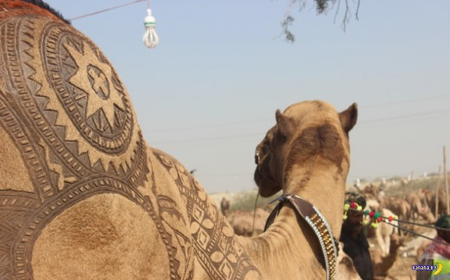 Тюнинг верблюдов в Пакистане