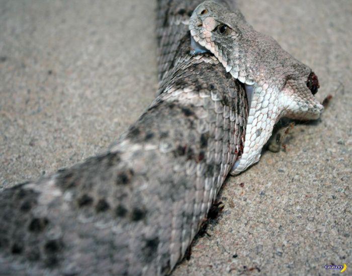 Очень злая змея