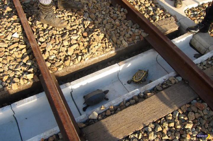В Японии начали делать тоннели для черепах