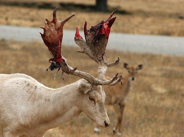 Про жутких оленей и лосей