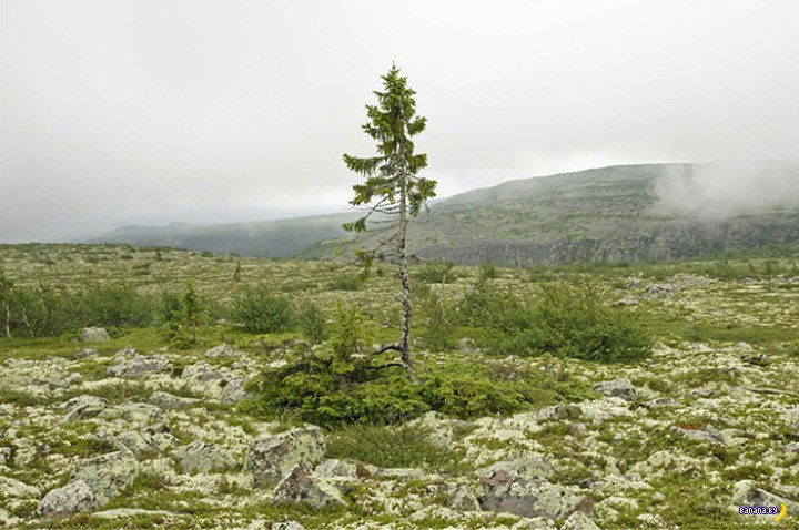 Самое старое дерево планеты