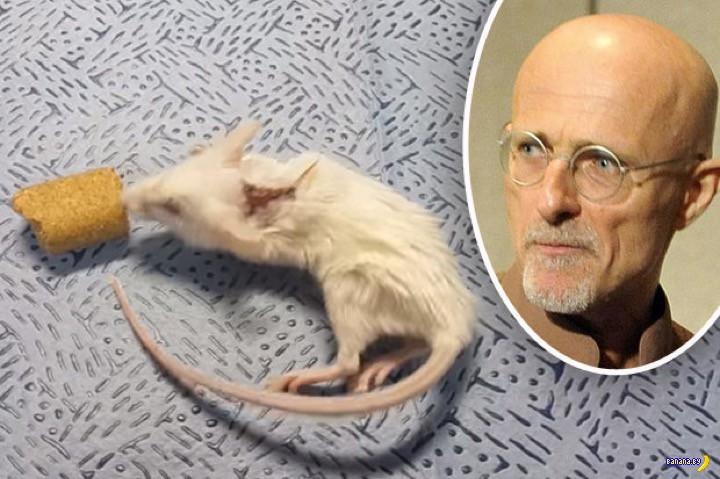 Мышь живет с пересаженной головой