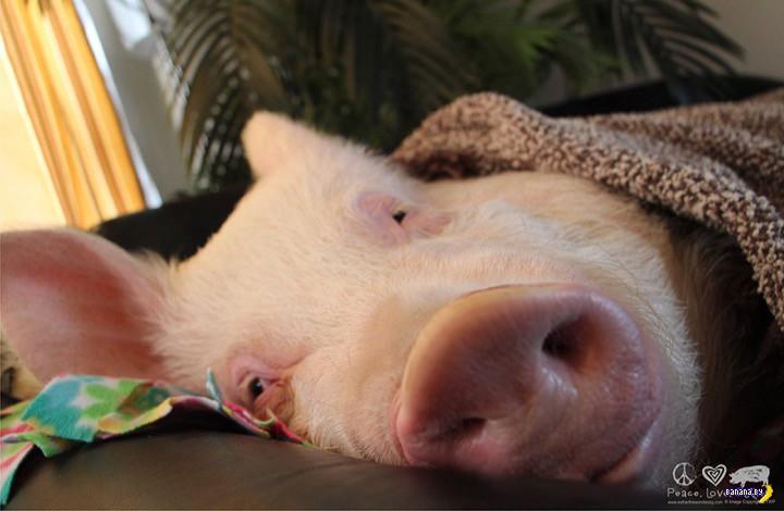 свинья потеет или нет важно выбрать белье