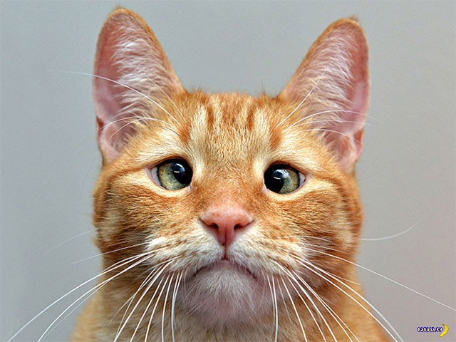 В тренде косоглазые коты