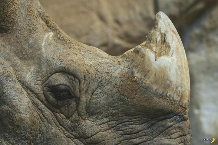 Придумали как спасти носорогов
