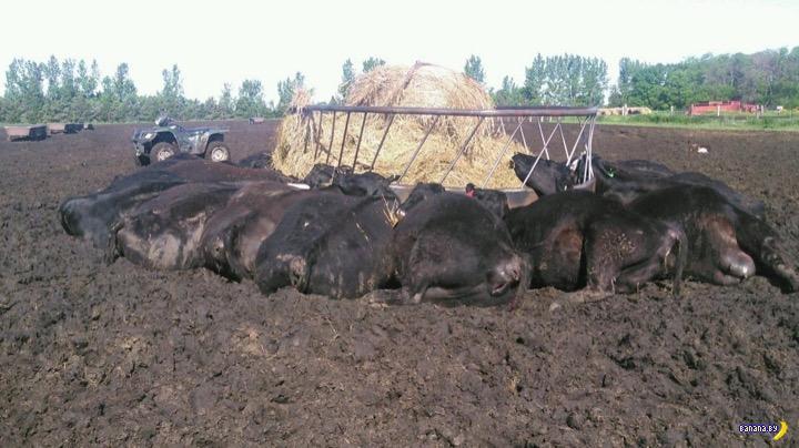 Загадочная смерть коров