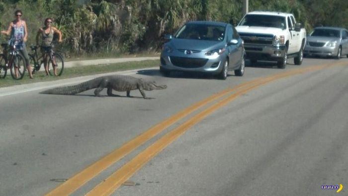 Флорида и аллигаторы, аллигаторы и Флорида