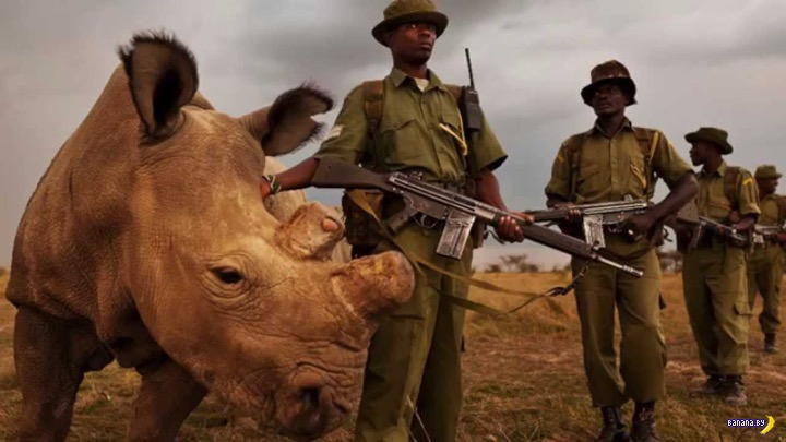 Последний шанс для белых носорогов