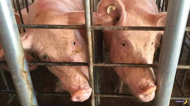 Свиньи и запасные органы для людей