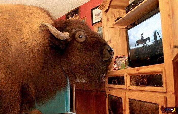 В нашем доме поселился замечательный бизон