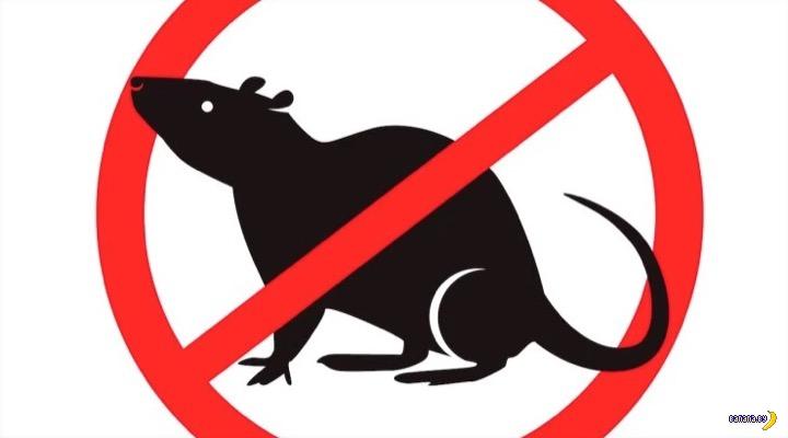 В Новой Зеландии объявили о войне с крысами