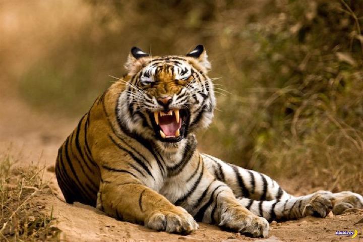 Тигр и его полоски