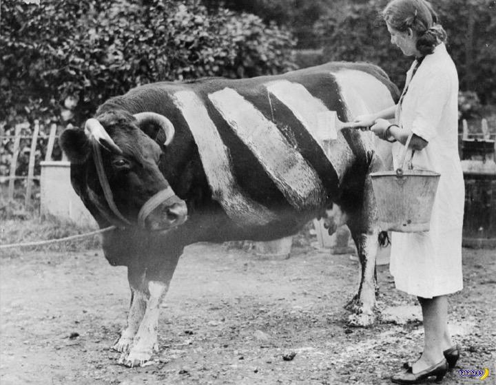 Загадка: зачем женщина красит корову?