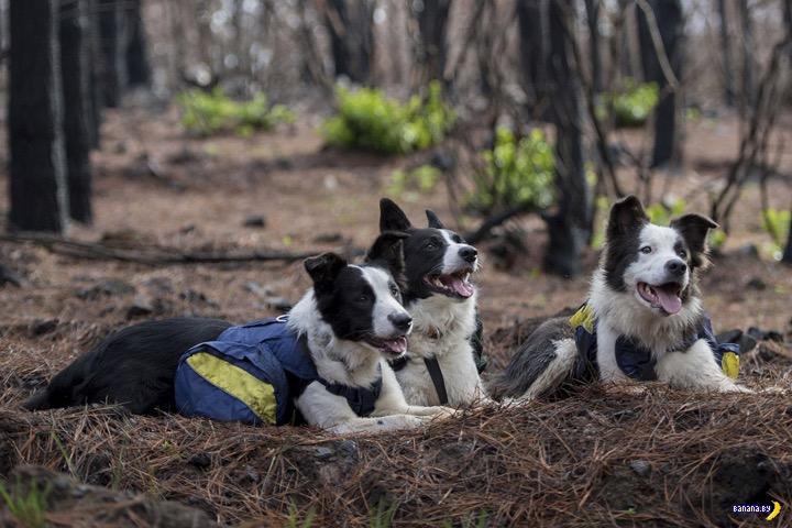 В Чили собаки сажают лес