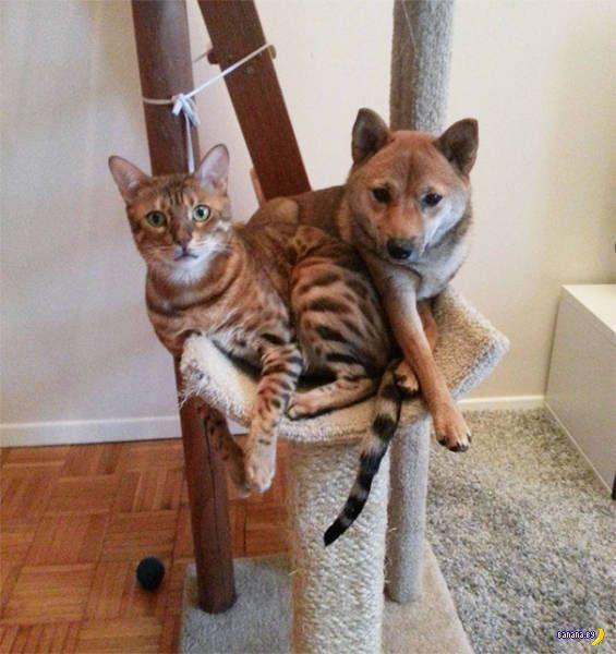 Собаки, которые думают, что они коты!