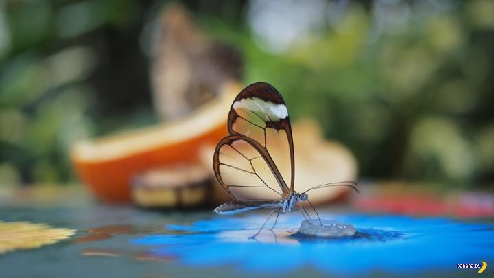 Greta oto, она же Стеклянная бабочка