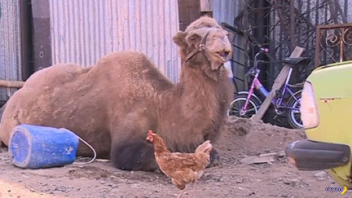 Верблюд –опасное домашнее животное!