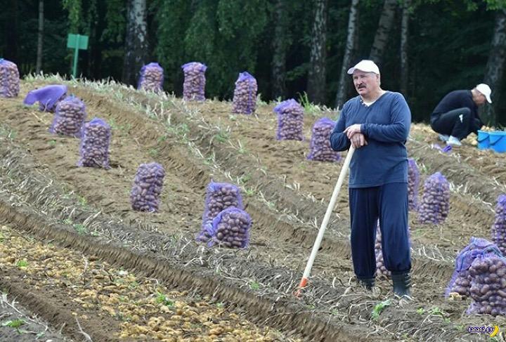 Лукашенко запасся картошкой на зиму