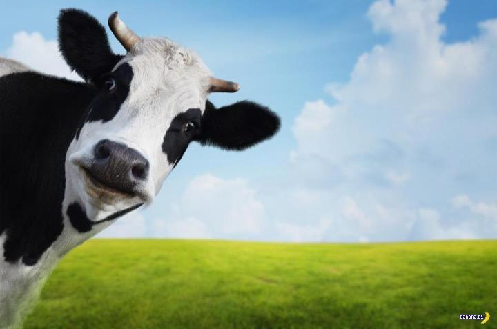 За корову ответишь!