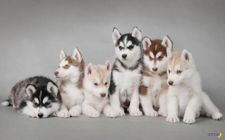 Шесть витебских щенков