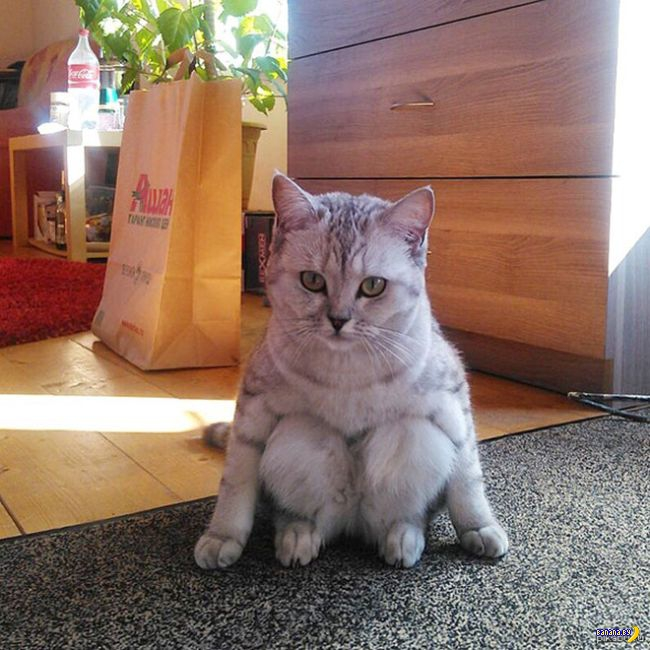 Коты, которые разучились сидеть как коты!