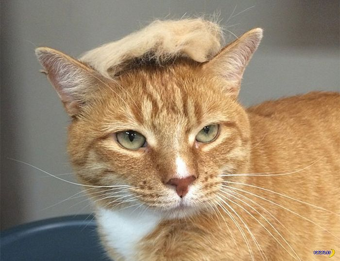 Как из кота сделать Дональда Трампа