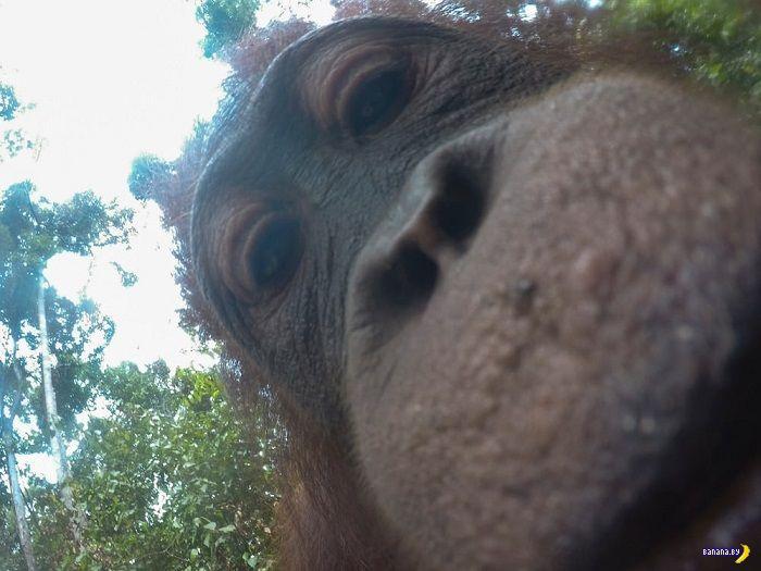 Орангутанг даёт мастер-класс по селфи!