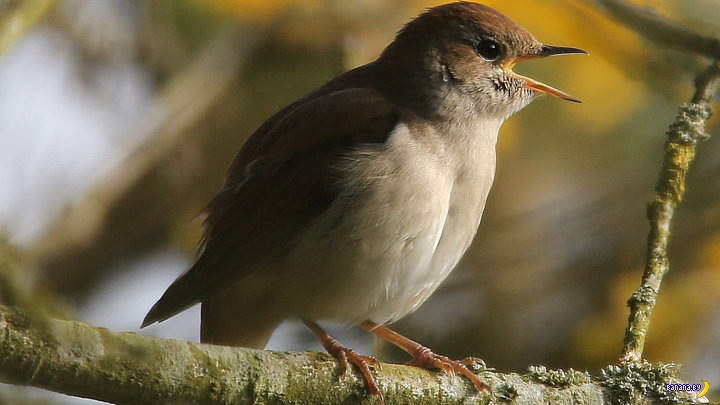 Певчие птицы начали петь по ночам. Почему?