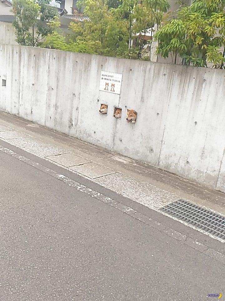 Три собаки Сиба-ину
