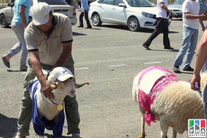 Конкурс красоты среди овец прошел в Дагестане