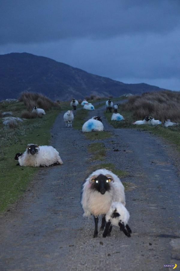 Овцы ночью –это страшно!