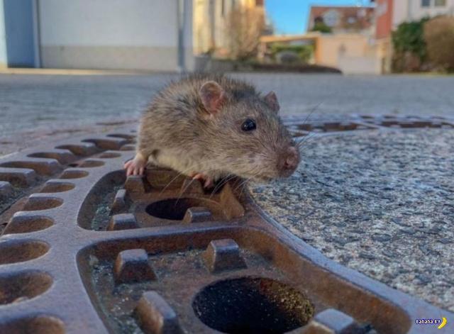 В Германии спасатели спасали крысу