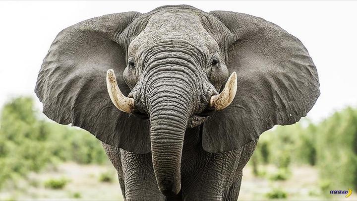 Слона все видели, а череп слона?