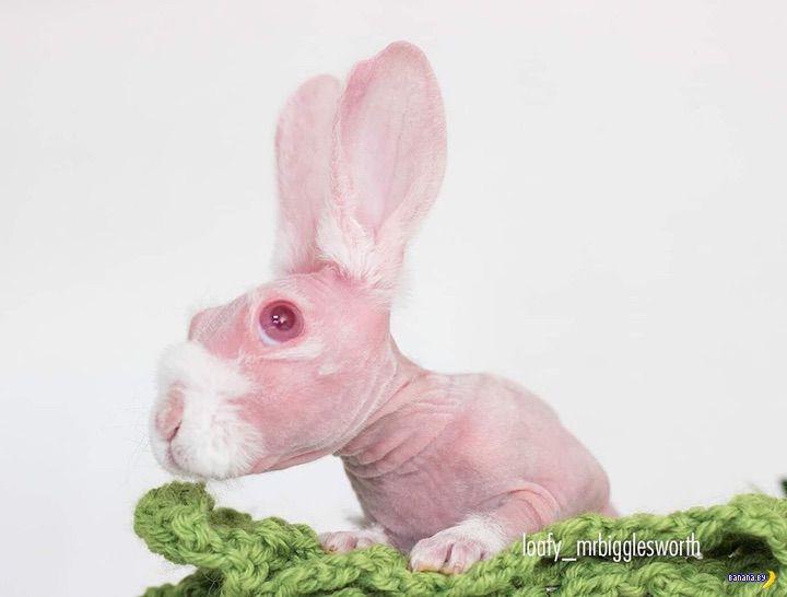 Лысый кролик стал интернет-сенсацией