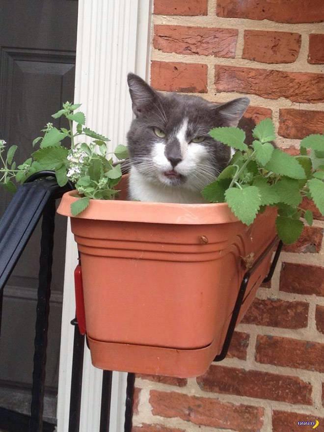 Коты и кошачья мята
