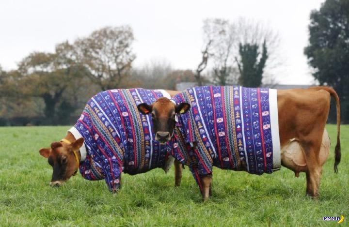 В Англии к Рождеству наряжают коров