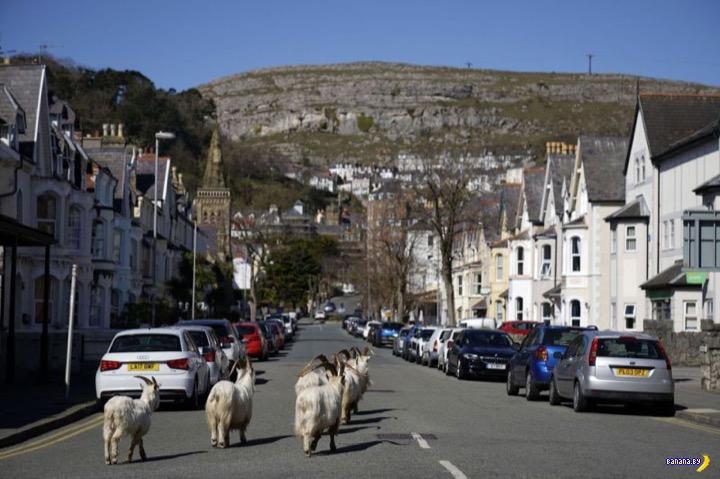Дикие козы оккупировали городок