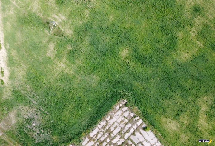 Нашли поле конопли под Гомелем