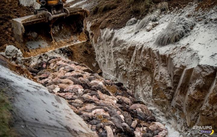 В Дании откопают 4 млн мёртвых норок