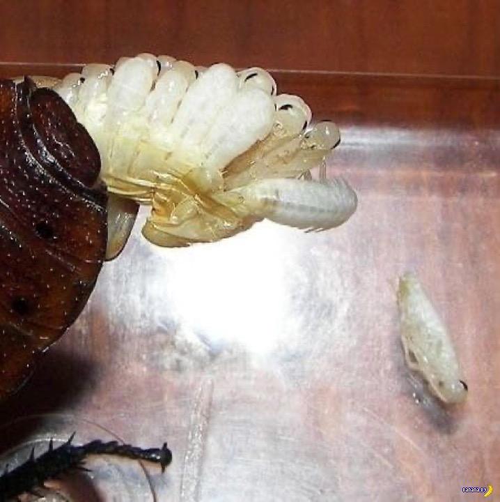 Роды у мадагаскарского таракана –не для слабонервных!