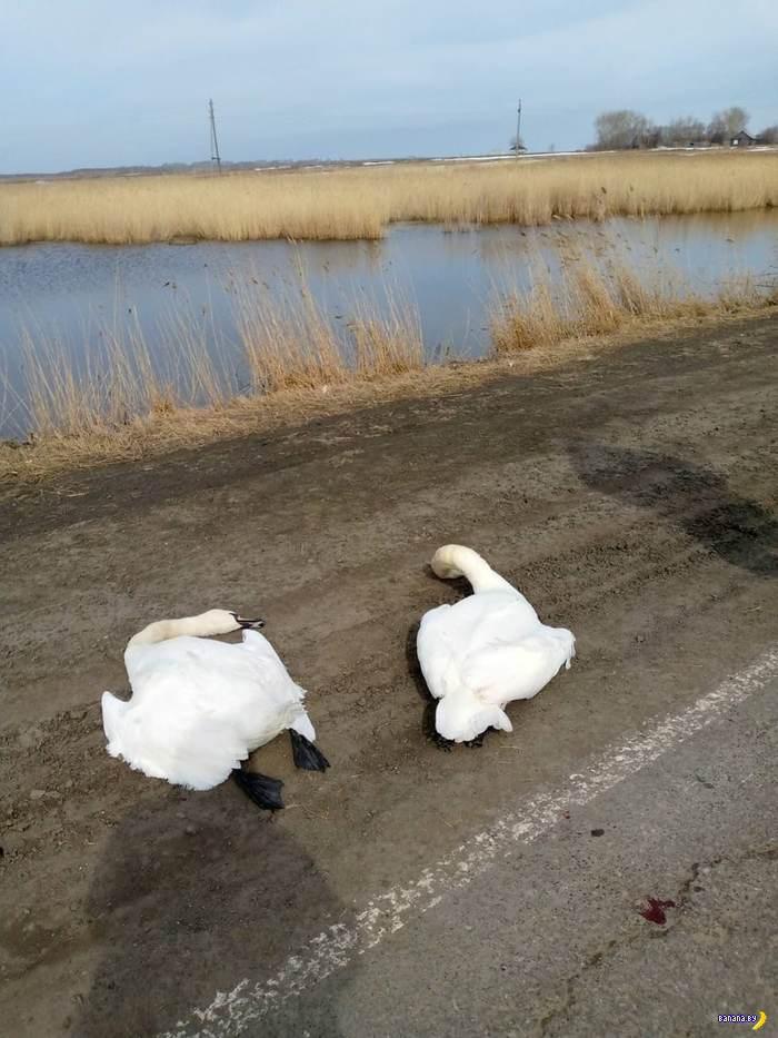 Максимально печальная история про лебедей
