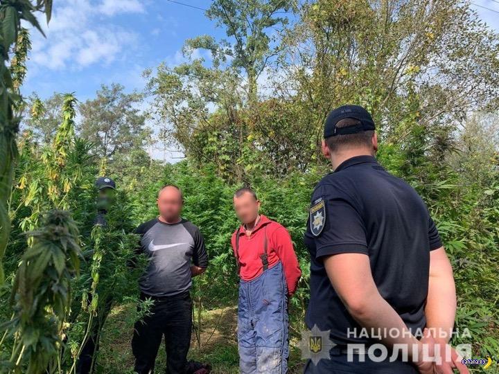 Накрыли плантацию конопли в Закарпатье
