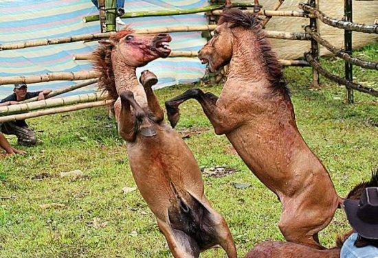 Лошадиный файтинг