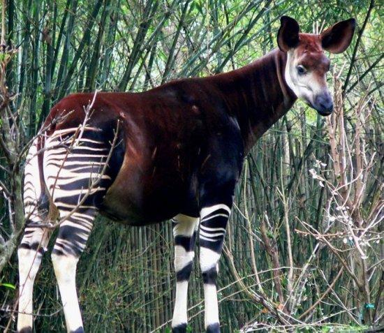 Что будет если жирафа скрестить с зеброй?