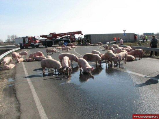Атака свиней в Венгрии