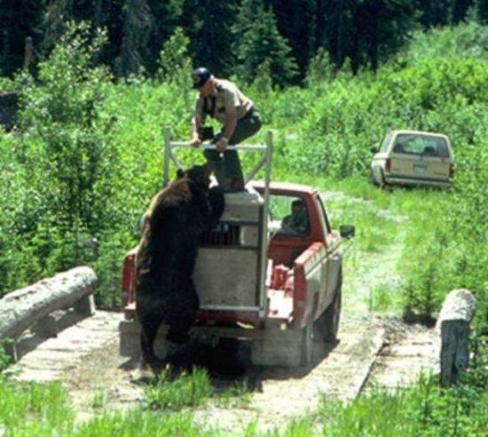 Как не надо выпускать медведя