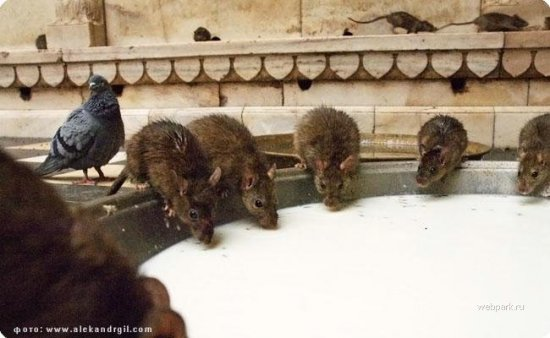 Крысиный храм